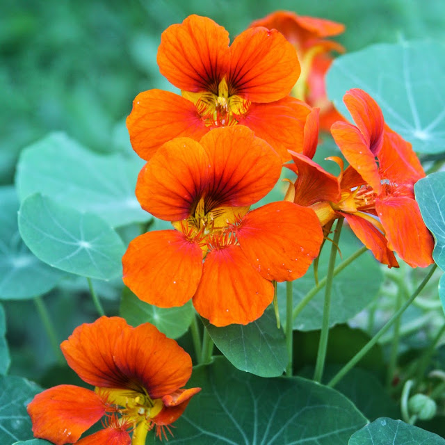 orange nasturtiums, nasturtium flowers, nasturtium plants, Anne Butera, My Giant Strawberry