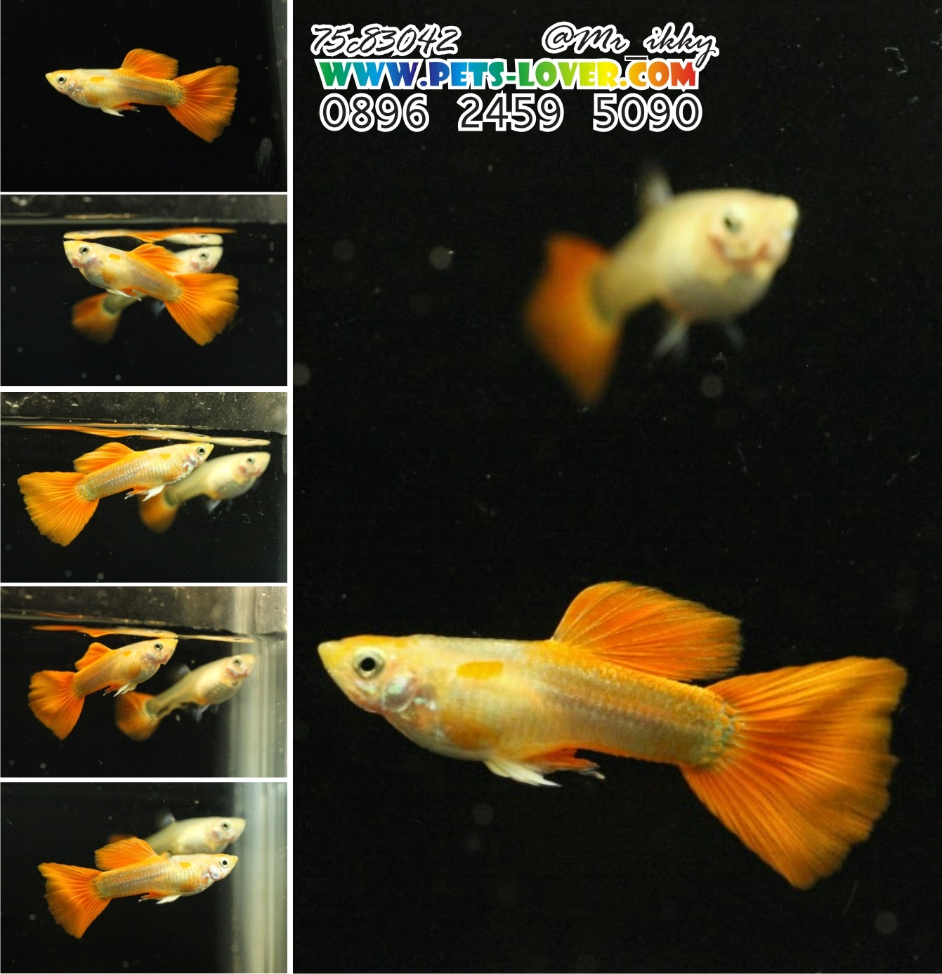 Guppy HB Red, Blonde Red, Full Red Black Eyes