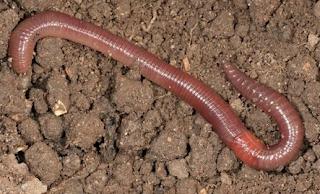 manfaat cacing tanah untuk kesehatan
