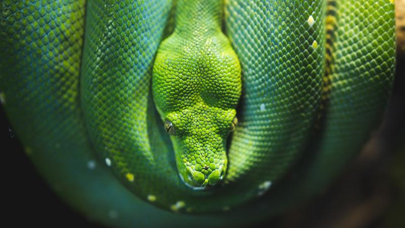 Snake Green Tree Python