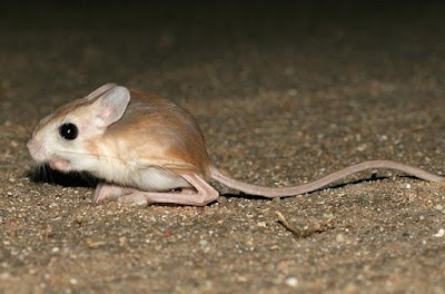 Jerboa - Animals Beginning with letter J