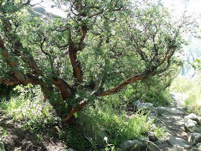 flora nativa argentina Tabaquillo Polylepis australis