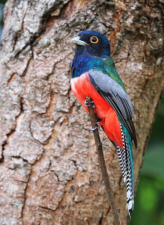 argentinian trogon birds
