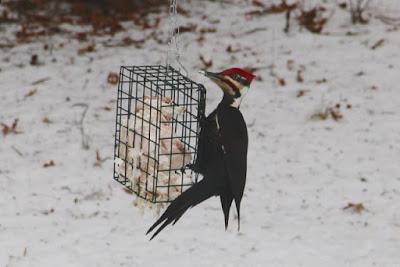 male Pileated Woodpecker
