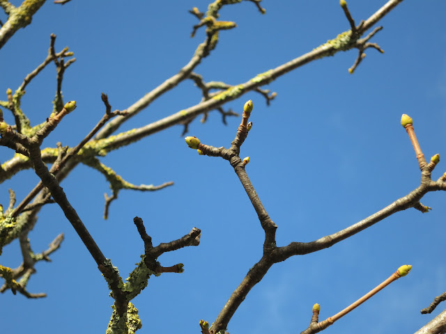Sycamore Leaf Buds against a blue sky