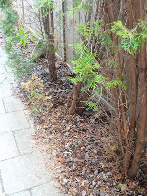 Roncesvalles Toronto spring garden cleanup before by Paul Jung Gardening Services Inc