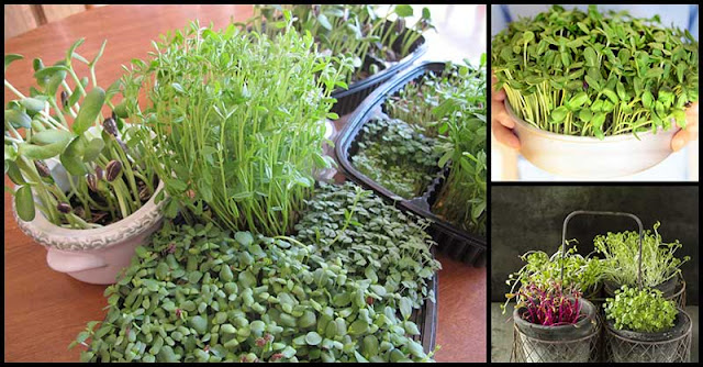 """Microgreens"" For A Healthy Body"