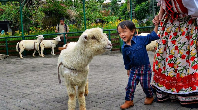 Wisata edukasi bersama binatang di Farm House Susu Lembang