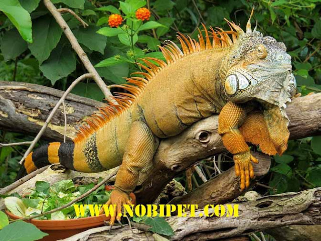 Bán Iguana - Rồng Nam Mỹ đẹp và hầm hố