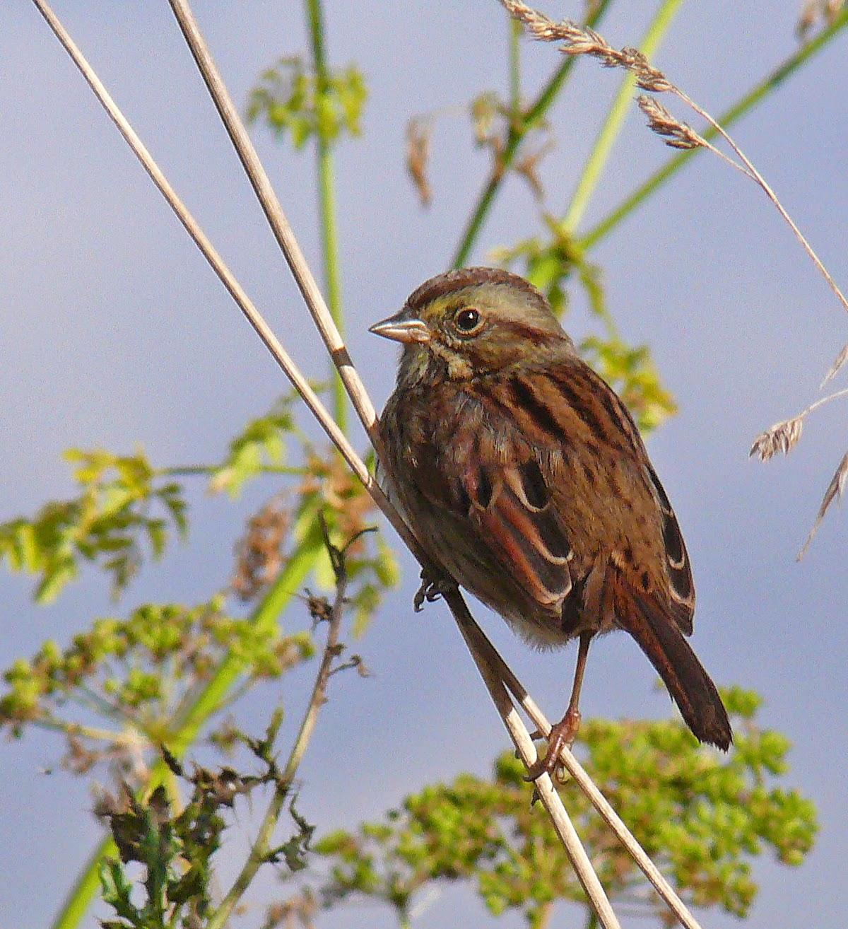 Bird Hybrids Song Sparrow x Swamp Sparrow