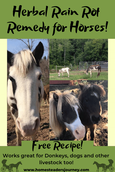 A DIY herbal recipes for preventing rain rot in horses, dogs and other livestock!