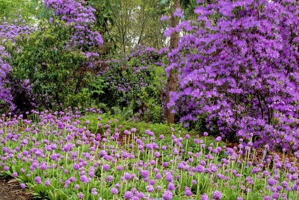 Rododendros y prímula denticulata