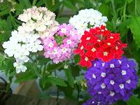 Çeşitli renklerde mine çiçekleri
