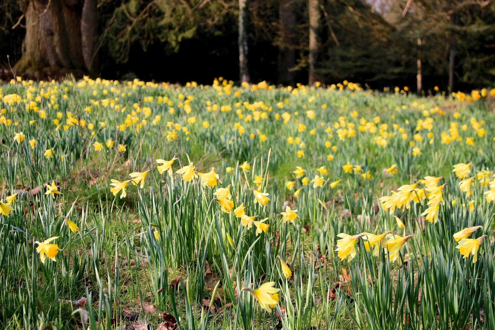 england spring daffodil photography
