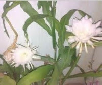Manfaat tumbuhan Wijayakusuma