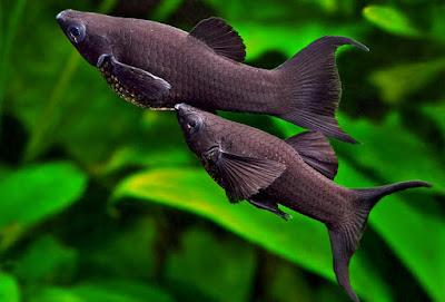 Ikan Black Molly - Cara Budidaya Ikan
