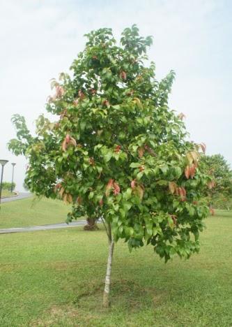 3 ripening cherries - 2 3