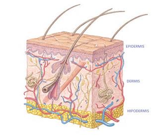 Diferentes capas de la piel