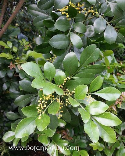 Aglaia odorata, Mock Lime