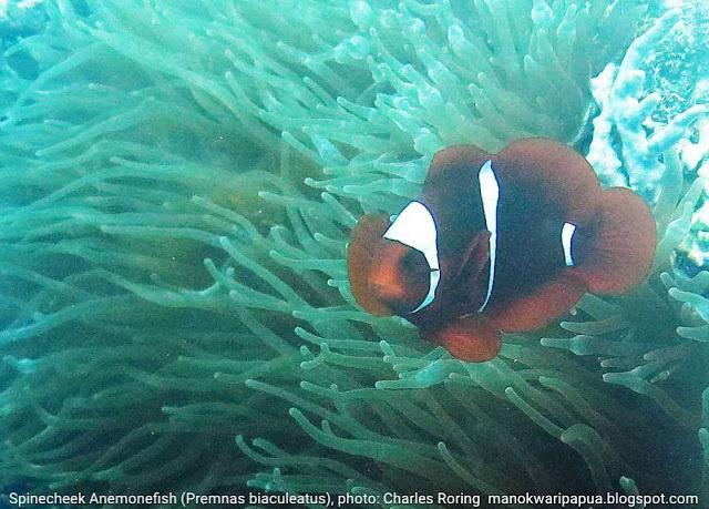 Clown fish: Spinecheek Anemonefish (Premnas biaculeatus)
