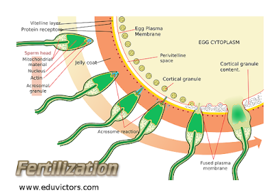 Class 12 - Biology - Human Reproduction System - Very Short Questions and Answers (#cbseNotes)(#eduvictors)