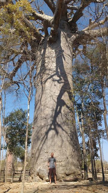 sacred baobab morondava