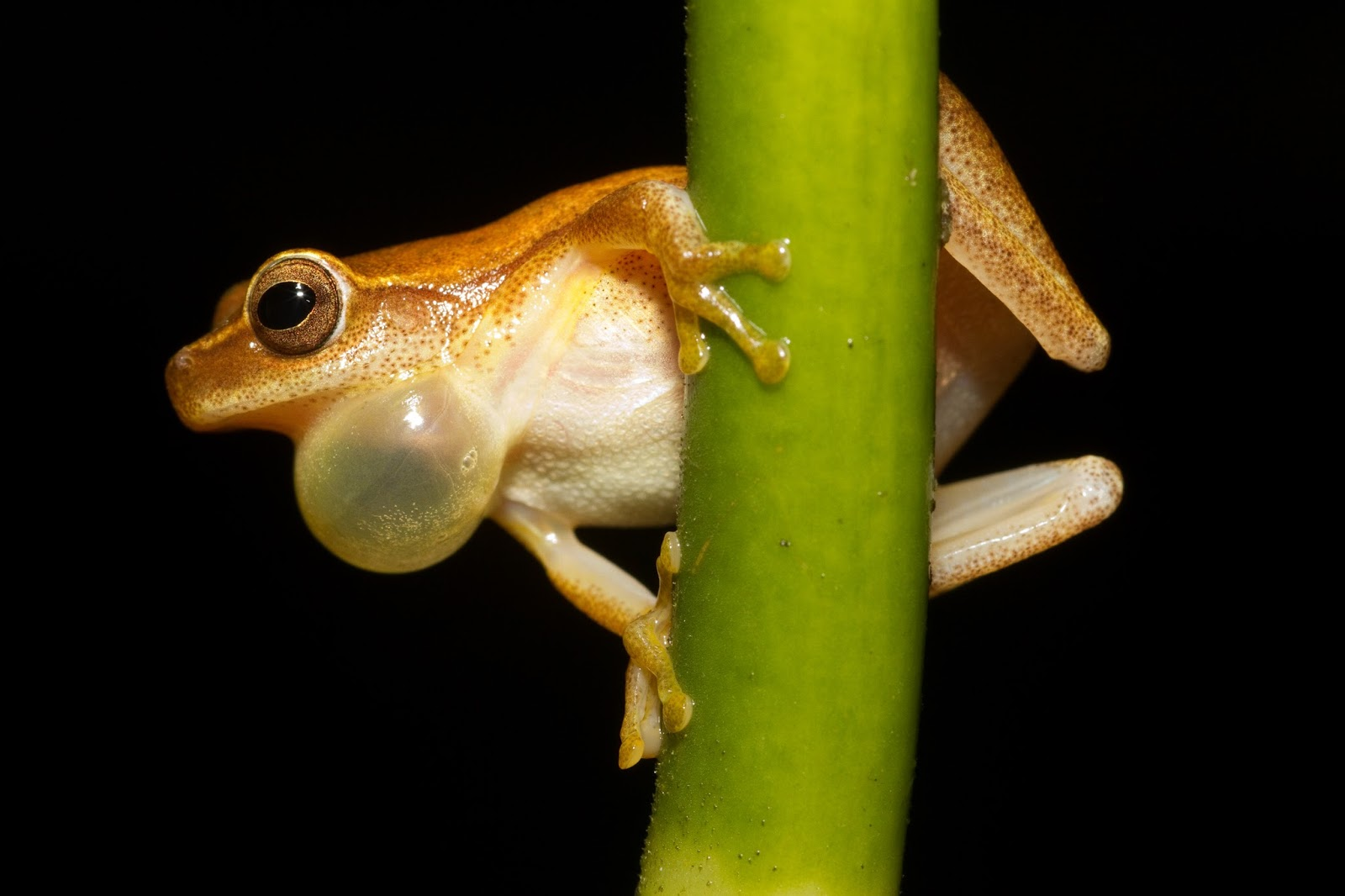 Amphibians: Dendropsophus microcephalus - calling male