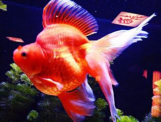 Gambar Ikan Mas Koki Termahal Ryukin