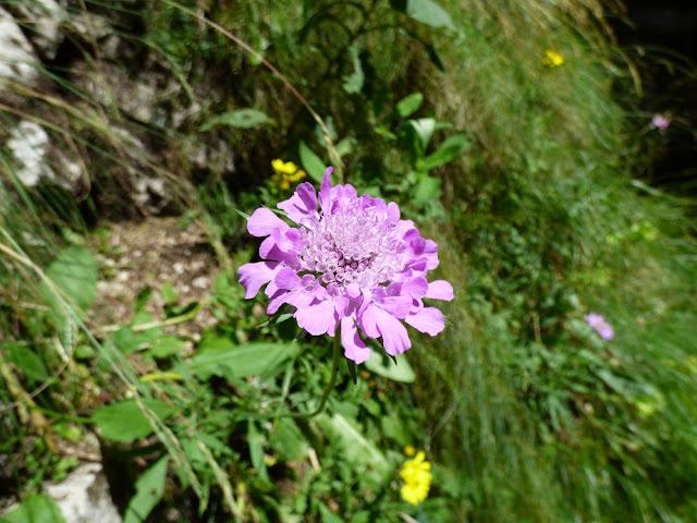 Muscata, muscata dracului, Scabiosa lucida, floare in Valea Horoabei, Bucegi