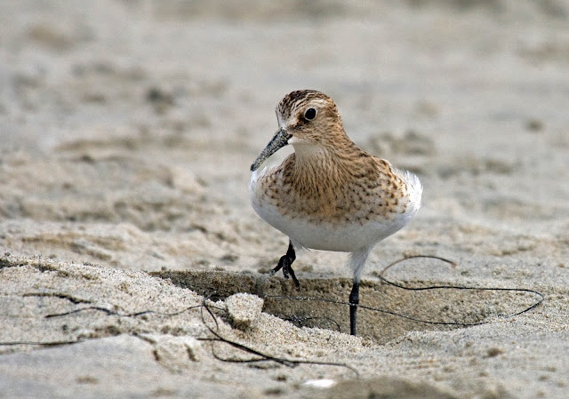 Baird's Sandpiper. Stepping into a depression.