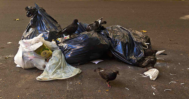 Palomas comindo en la basura