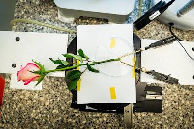 Ρεύμα από τριαντάφυλλο! – To πρώτο ζωντανό φυτό που… φορτίζεται