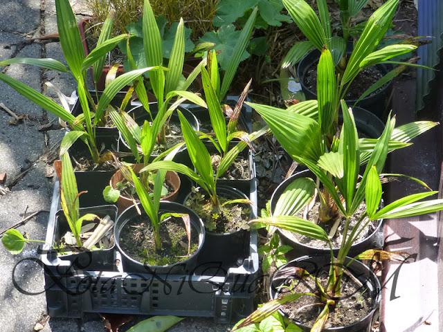 Botaniquarium - Trachycarpus fortunei seedlings