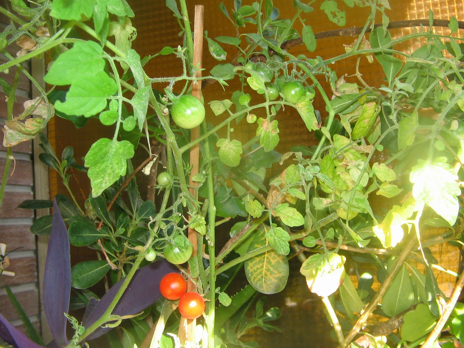 Entre Pinceles Y Crochet Cultivo De Tomates En Maceta