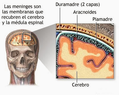 Estructura y partes de las meninges, cavidad subaracnoidea y ventrículos