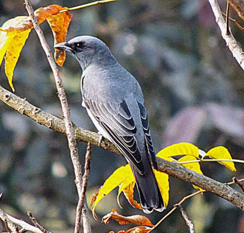 Indian birds - Image of Large cuckooshrike - Coracina macei