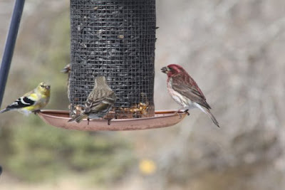 partially molted male goldfinch and pair of purple finches