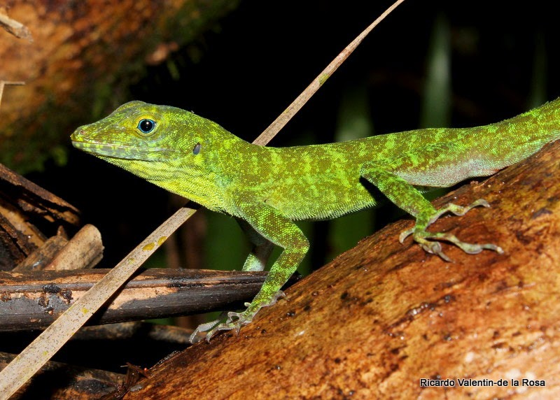 Green Anole (Anolis carolinensis), adult shedding skin ... |Adult Anole Hendersons