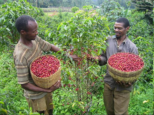 Το 60% άγριων ειδών φυτών του καφέ κινδυνεύουν με εξαφάνιση