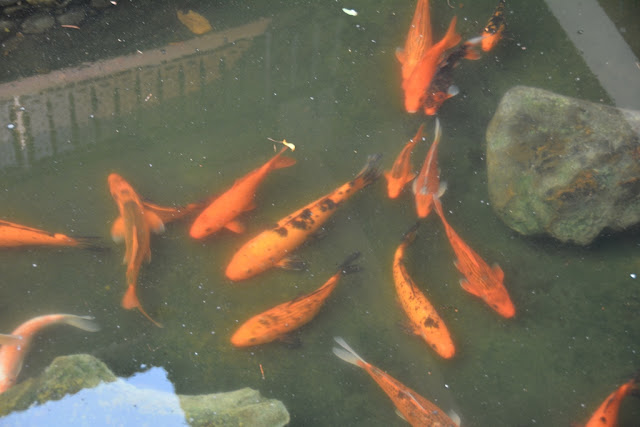 Imperial Mae Hong Son Resort koi