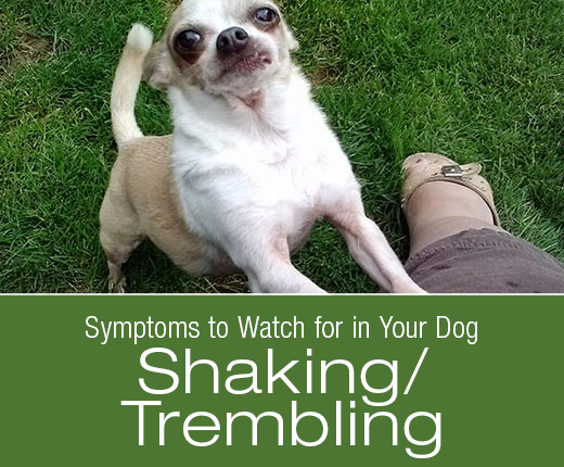 Symptoms to Watch for in Your Dog: Shaking/Trembling