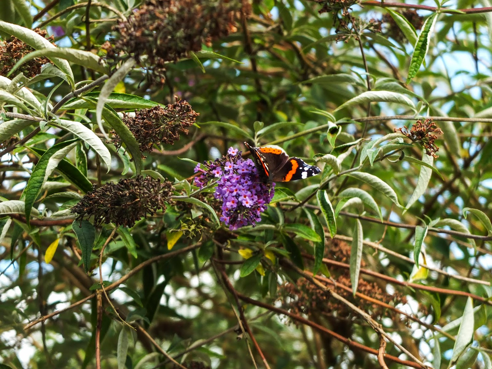 An orange and black butterfly on a purple butterfly bush flower.