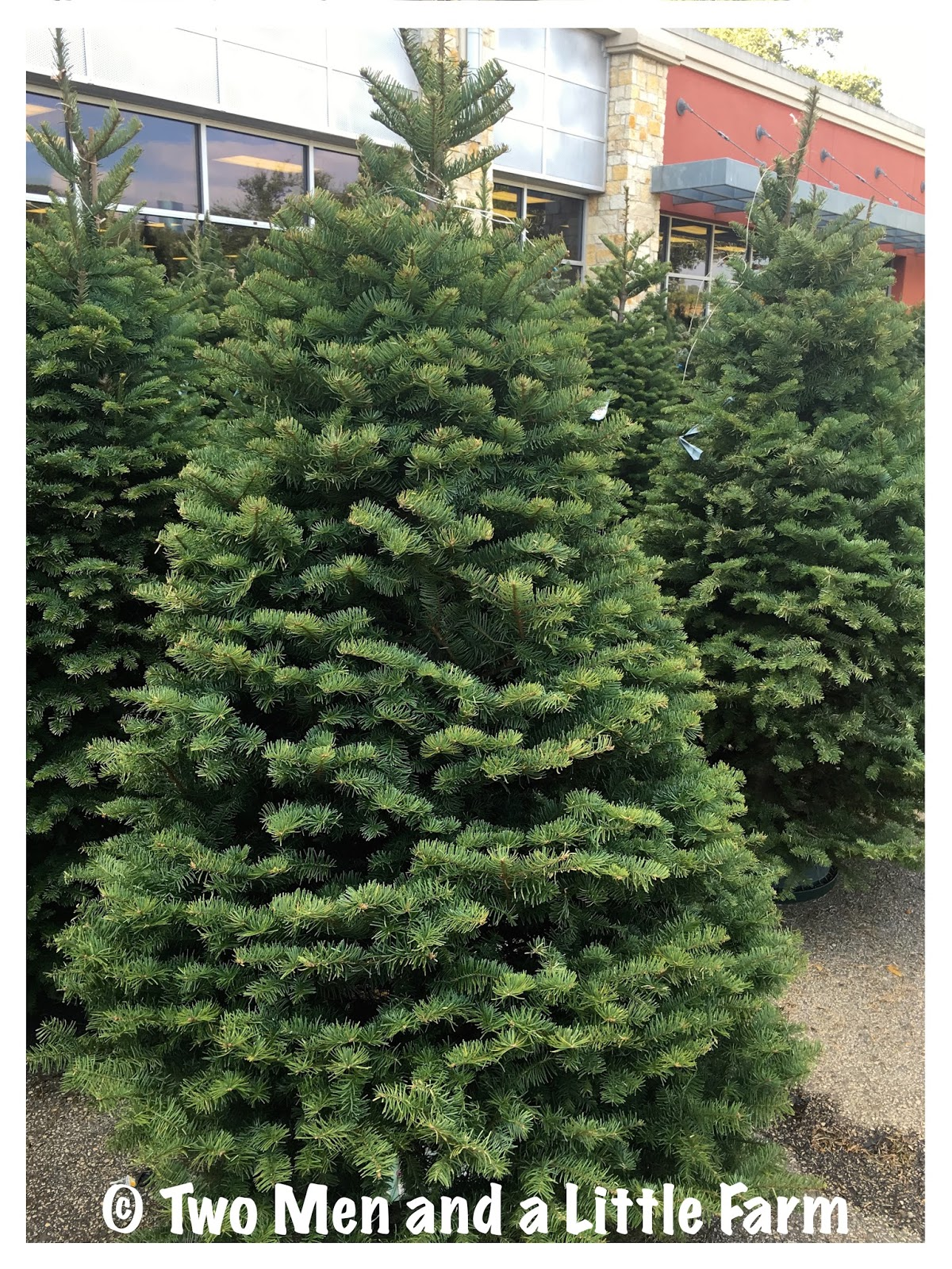 Two Men and a Little Farm: GROWING CHRISTMAS TREES