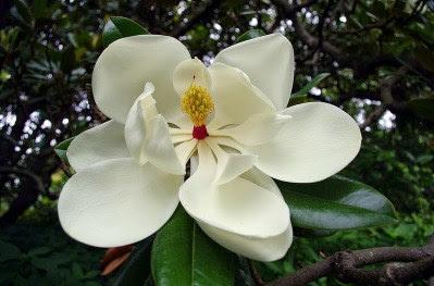 Magnolia Salah Satu Bunga Yang Cantik