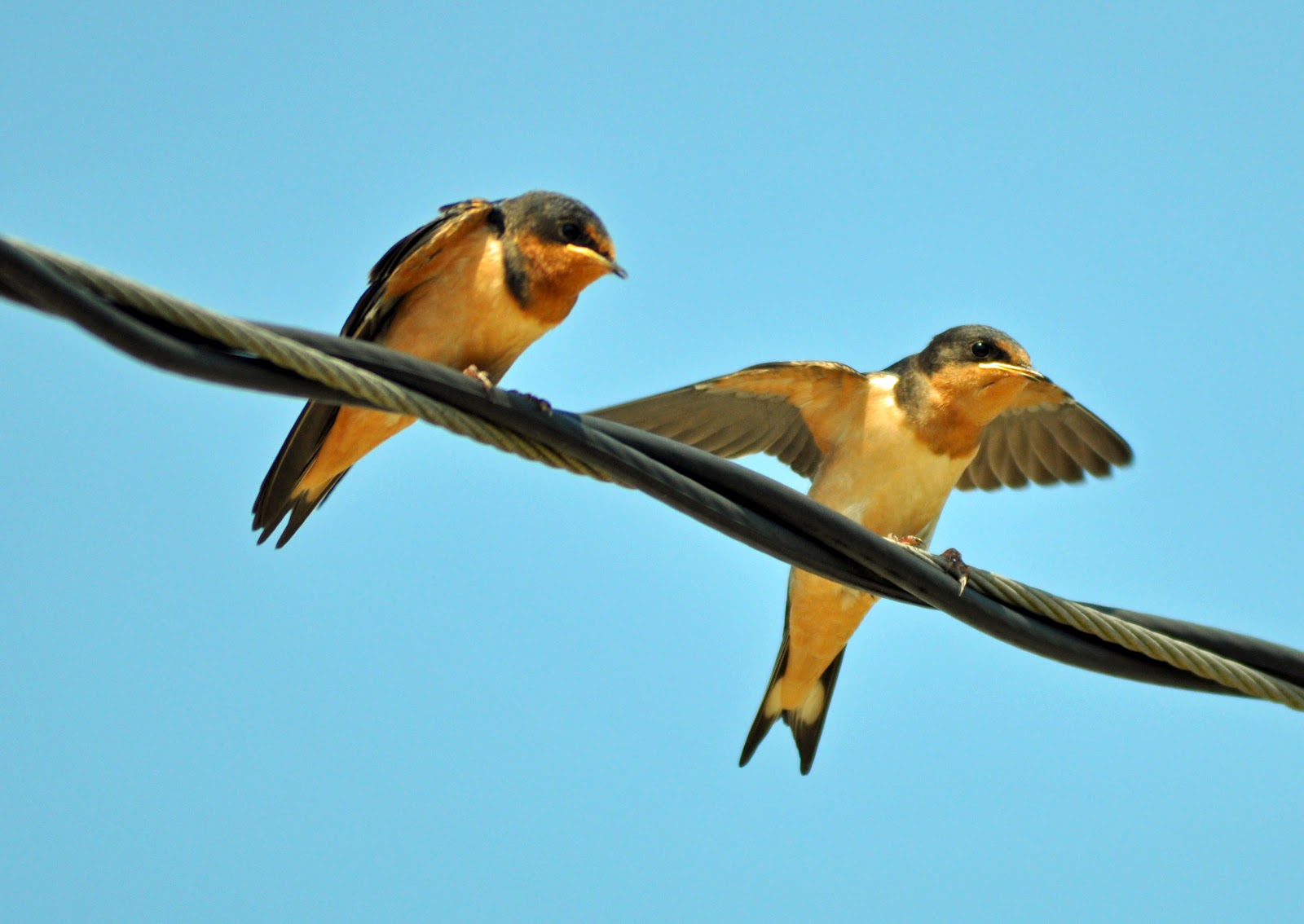 Living in Brooklyn-Longing for Maine: Barn Swallows