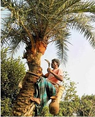 Seuli is collecting sap for preparation of crude sugar and patali