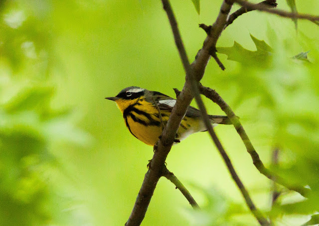 Magnolia Warbler - Central Park, New York