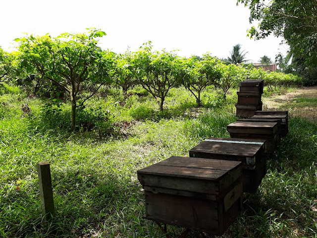Các thùng ong đặt trong vườn hoa nhãn