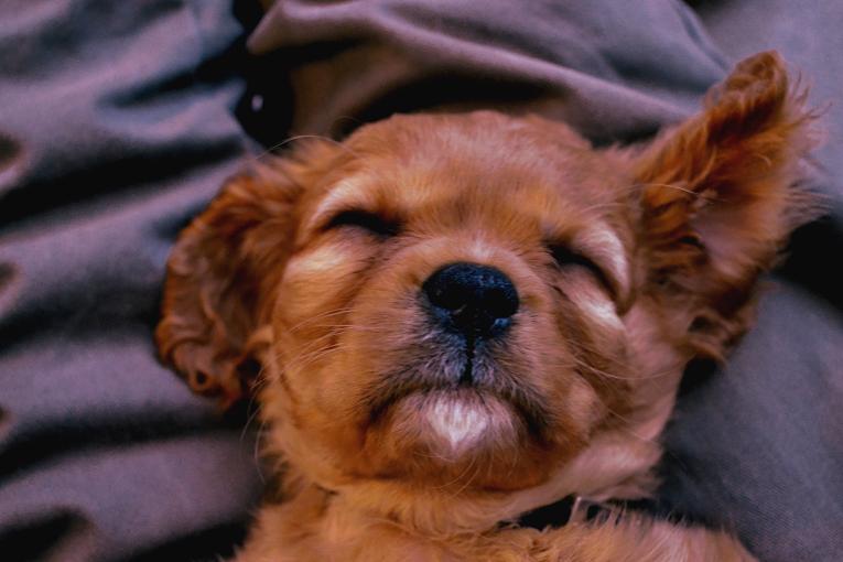 Ned, cavalier king charles spaniel, dog, puppy
