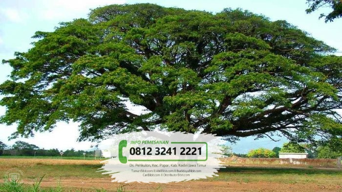 Jual Bibit Pohon Trembesi